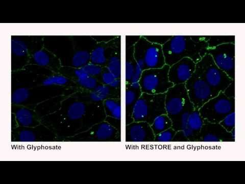 Video: Glyphosate Dissolving Tight Junctions on left; on right side, Restore added in with exposure to Glyphosate, showing tight junctions being maintained
