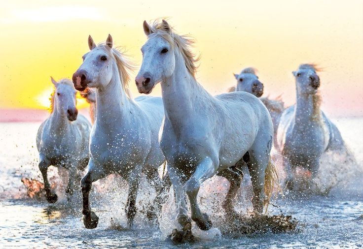 White Horses at Sunset - 1000 Teile - EDUCA Puzzle