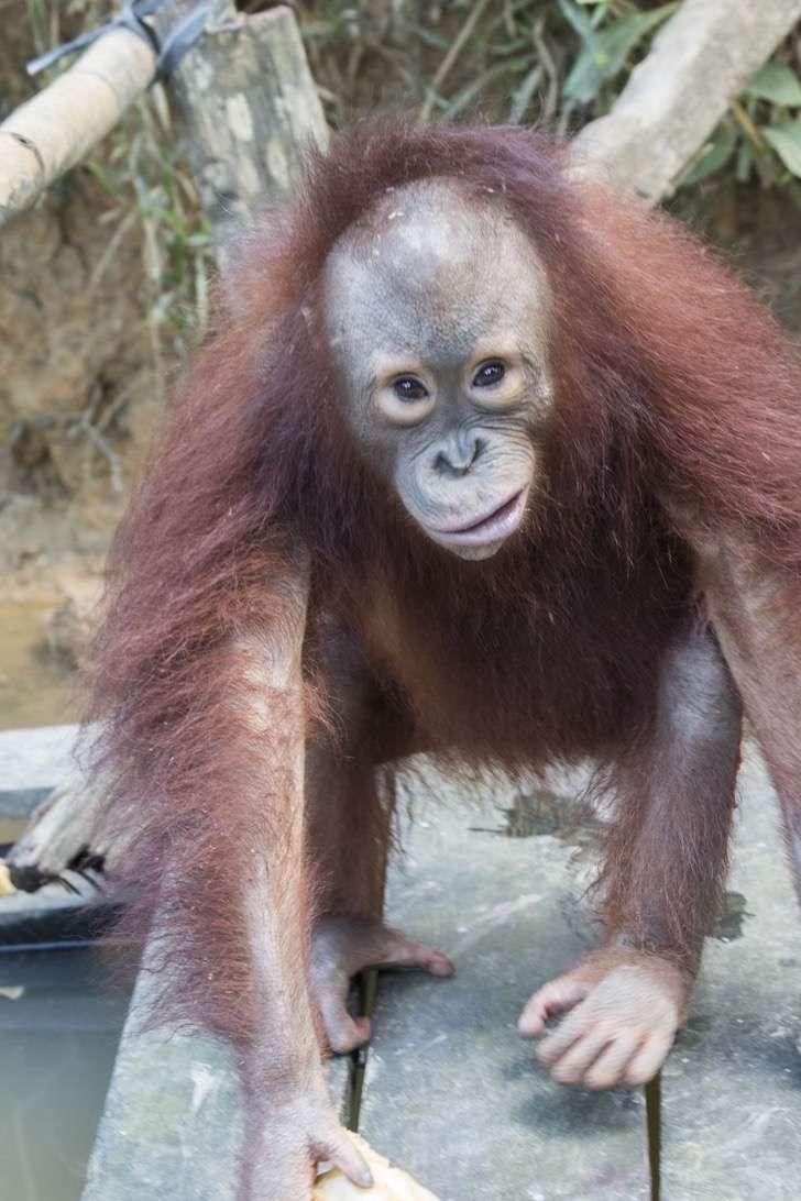 Esta bebé orangután que se crió con los perros ahora se cree un perro