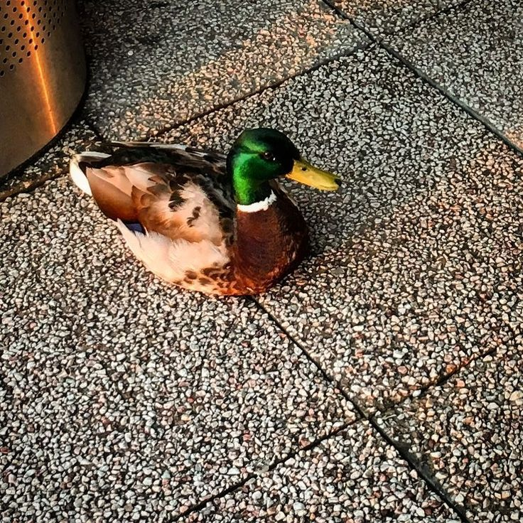 První ranní kachna! #duck #čt24