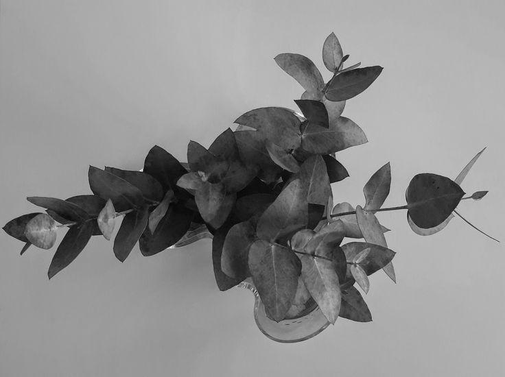 eucalyptus branches- Alvar Aalto vase, photo by Alessandra Morandini
