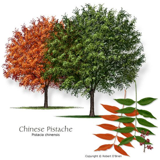 "Chinese Pistache Pistacia chinensis   Long-lived, winter hardy shade tree with spectacular red, red-orange fall color. Outstanding heat, drought and soil tolerance. Extremely pest resistant. A near perfect shade tree for one-story buildings.     Hardiness: Zone 5    Exposure: Full sun    Size: Height 40 feet tall, 30 feet wide   Small leaves 3/4"" to 1"" long"