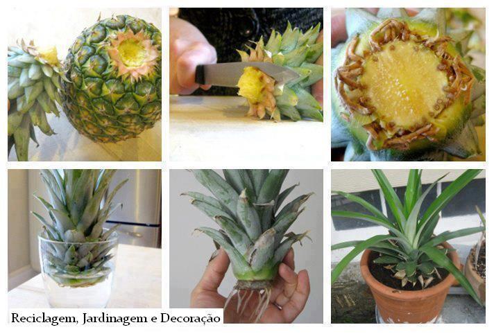 como plantar abacaxi em um vaso