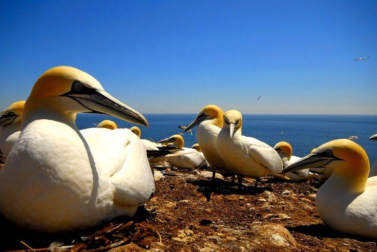 Fous de Bassan/Circuit ornithologique. Photo : Marc Loiselle