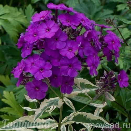 Флокс метельчатый Harlequin | Интернет-магазин садовых растений