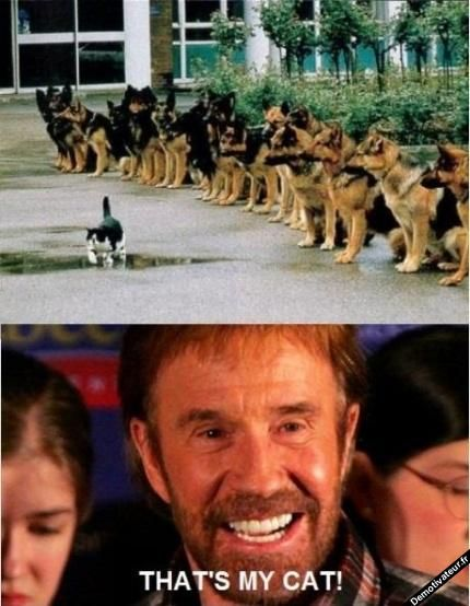 Chuck Norris is proud of his cat in front Of German shepherd dogs