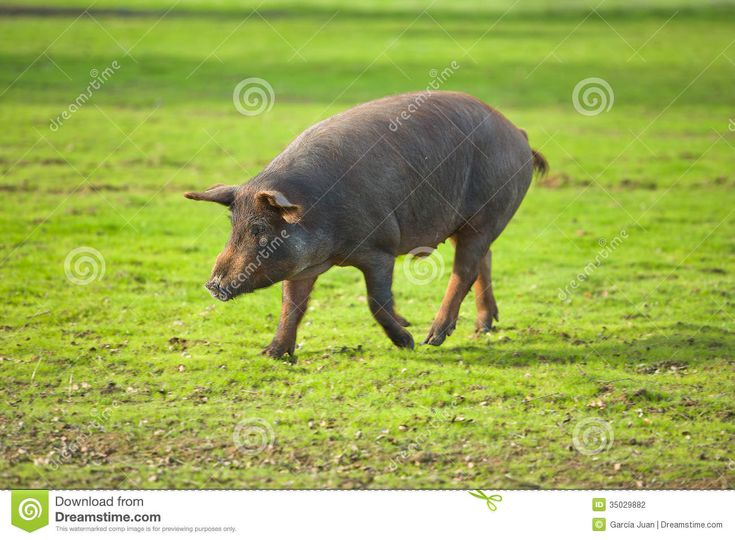 Black Iberian pigs on a meadow. Extremadura, Spain