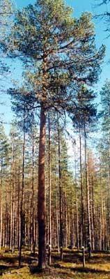 Fantastiska träd, fakta, skogssverige
