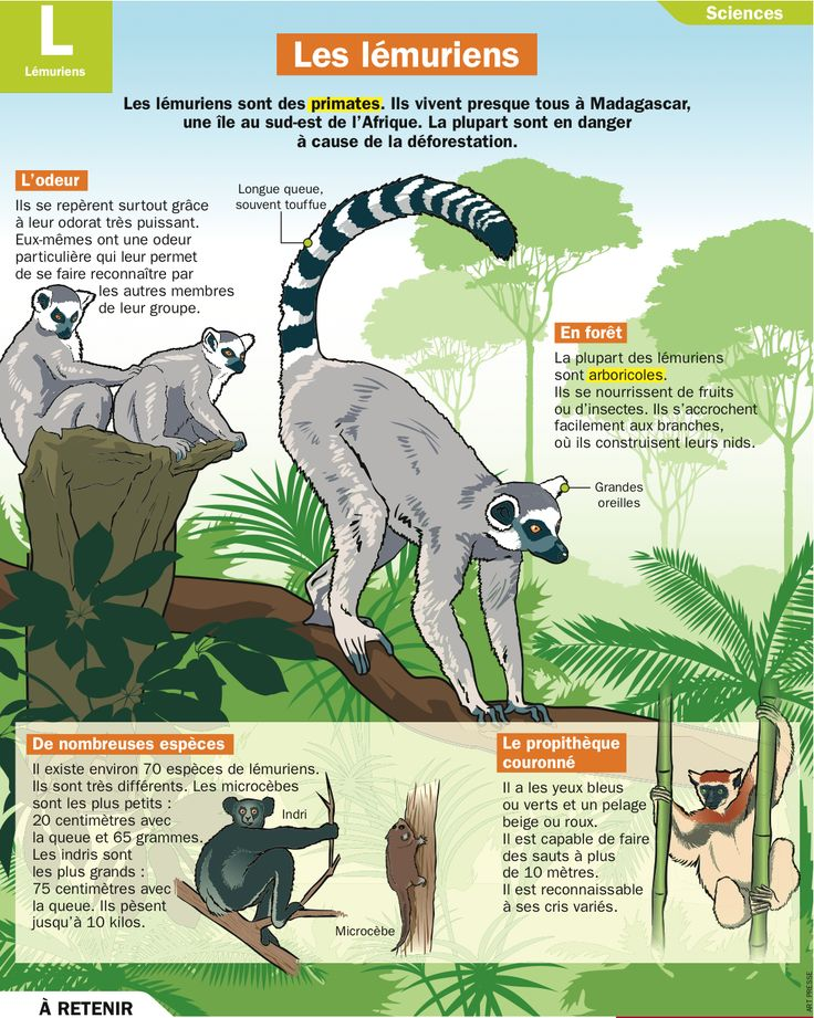 Les lémuriens