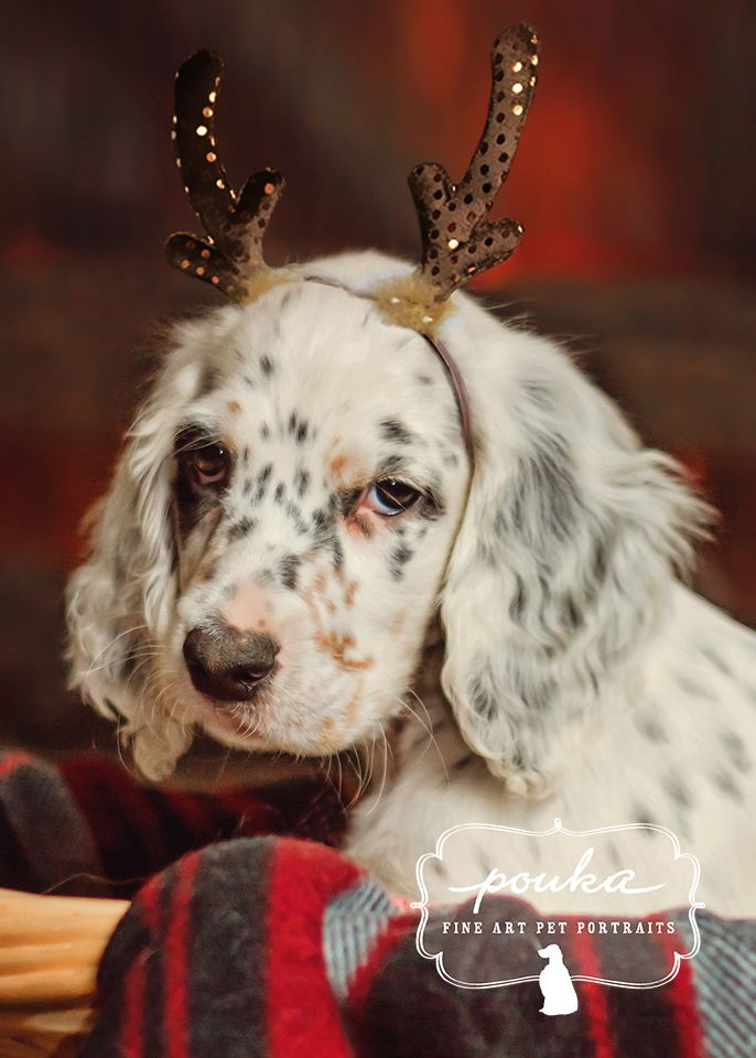 An adorable English Setter puppy wearing antlers for Christmas. Photography and compositing by Pouka Fine Art Pet Portraits.