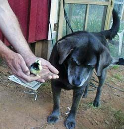 No More Chicken Dinner: Training Dogs Around Poultry by Ashley Haffey from the August/September, 2011 issue of Backyard Poultry | Raise Backyard Chickens with Backyard Poultry Magazine
