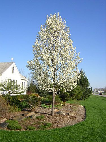 80 cleveland select pear tree | Bear Creek Nursery - Common Tree Names, Plant Images, M-Z
