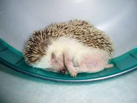 effect of exercise on hedgehog