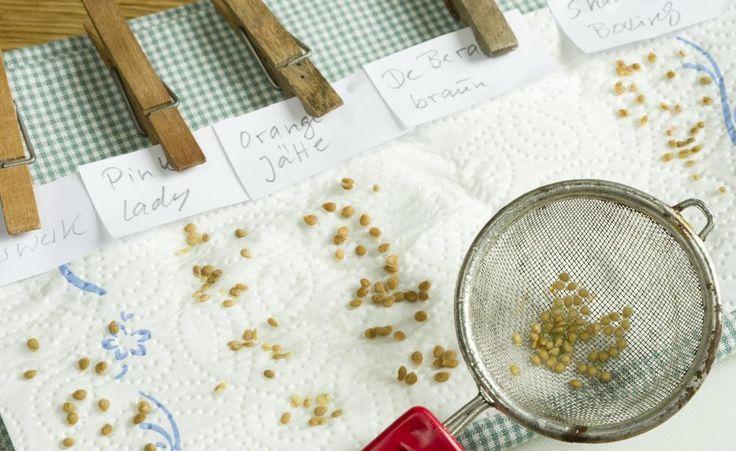Die frischenTomatensamen müssen gründlich getrocknet werden – am besten auf Küchenpapier. Wenn Sie mehrere Sorten vermehren wollen, dürfen Sie die Samen natürlich nicht miteinander vermischen
