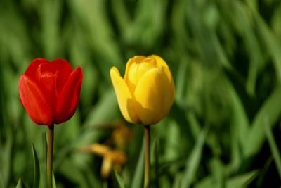 When to Plant Tulips in Georgia