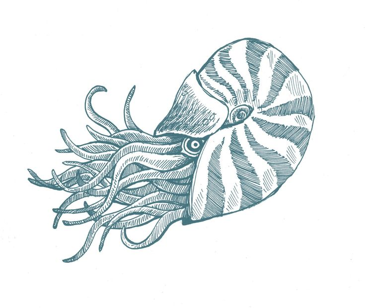 Line Art Nautilus : Sea creature drawings tuesday june  art