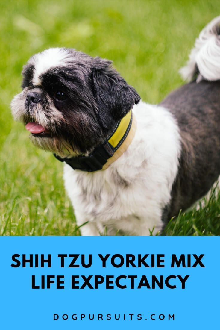 What Is The Shih Tzu Yorkie Mix Life Expectancy Yorkie Mix Shih Tzu Yorkie