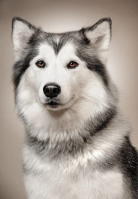 Siberian Husky - Nanook of the North