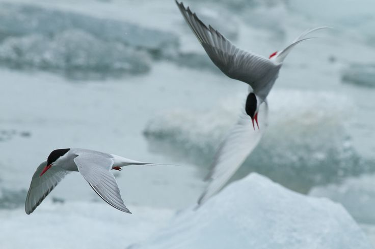All sizes   Arctic terns   Flickr - Photo Sharing!