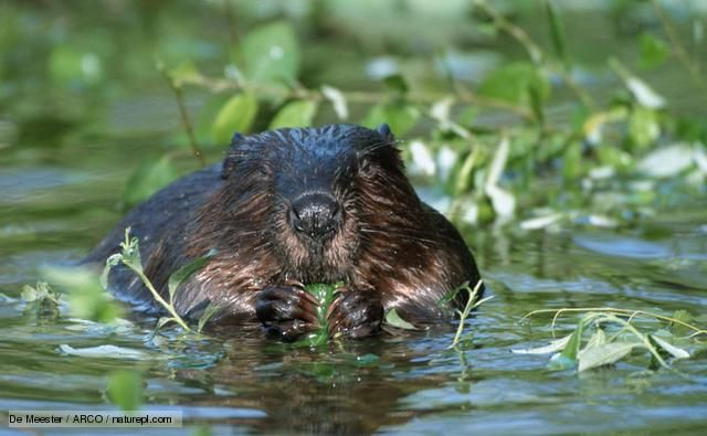 2014: European Beavers have come back from the edge of extinction in Britain. These large rodents used to live all across Europe & Asia until they were hunted to extinction in the U.K. @ 400 years ago. The origin of these few new beavers is unknown tho there have been proposals to reintroduce them in the U.K. (In 2011, some were brought into Scotland.) Beavers can have a huge impact on ecosystems as they build dams that alter water flow and depth (which helps other species).