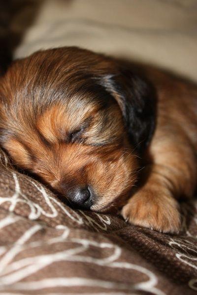 Dachshund puppy, squeee!