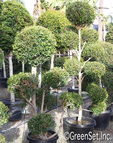 SO in LOVE with Eugenia Topiaries!!!