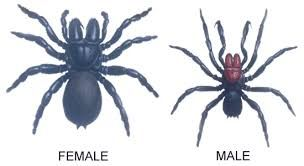 male female mouse spider | Spiders of the United States | Spiders Identification, Habitat,  Venom Toxicity & Outdoor Preparedness by Survival Life at  http://survivallife.com/spiders-of-the-united-states/