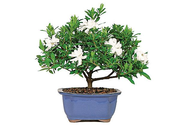 "12"" Gardenia Bonsai, Live on OneKingsLane.com"