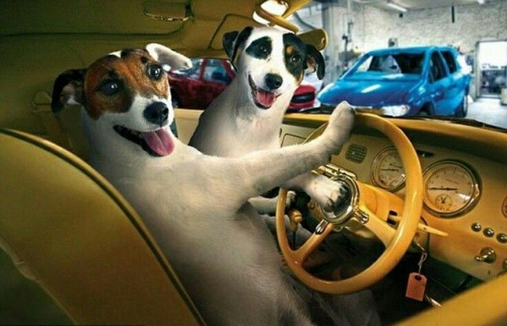 DOG & AUTO - JACK RUSSEL TERRIER - FUNNY CRUISERS