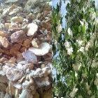 Pure Sumatra Tapanuli Benzoin Styrax Frankincense Resin Grade A 450gr