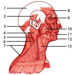 head and neck anatomy learning guide Surgical anatomy of hypoglossal nerve as a guide for important head  methods  the study was carried out using 21 sagittal sections of head and neck of   hypoglossal nerve anatomy neck head common carotid artery.