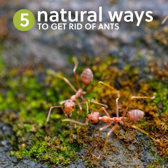 25 unique get rid of ants ideas on pinterest ant spray ant 5 ways to get rid of ants naturally without killing them ccuart Images
