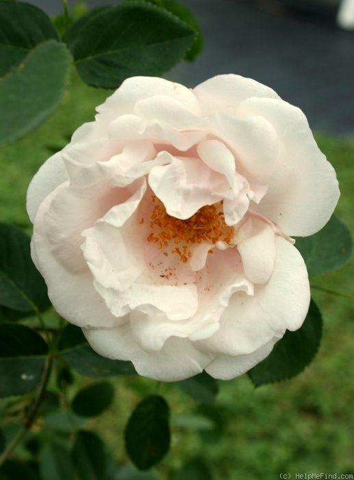 Ayrshire Rose: Rosa 'Splendens' AKA 'The Myrrh-scented Rose' (origins unknown, before 1837)