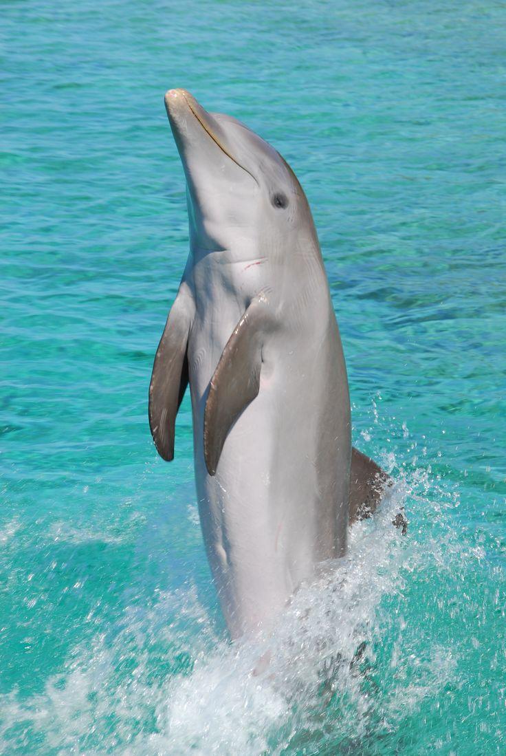 Tail-walking Common Bottlenose Dolphin (Tursiops truncatus)