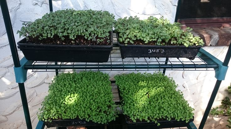 How to Grow Microgreens at Home with Australian Micro Farmer Marty Ware from Marty's Garden