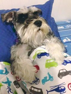 Tuckered out Miniature Schnauzer pup