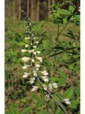 Baptisia alba (White wild indigo) | NPIN