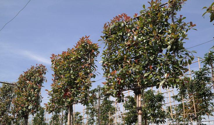 Bladhoudende leiboom Photinia red robin. Het jonge blad is rood van kleur. Is een mooie groenblijvende leiboom.