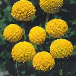 "Drumstick Flowers (Craspedia globosa) (aka Billy Button) A perennial that is native to New Zealand, Australia, and Tasmania. Brilliant 1"" yellow spheres are striking in the garden or in fresh or dried bouquets. Long sturdy stems. Grown as a half-hardy annual in the North, 3' tall plants."