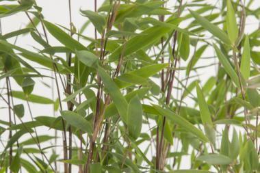 Glansbambu 'Nitida' Fargesia 'Nitida' (eller: glansbambu 'Nitida') är en vintergrön sort av bambu som inte sprider sig vilt. Denna sort av bambu har smala, grågröna blad. Glansbambu 'Nitida' lämpar sig utmärkt till häck, men kan även planteras i grupper eller solitärt. Bladen sitter kvar över vintern. Dessutom är denna sort mycket härdig. Stjälkarna är purpurfärgade/gröna.