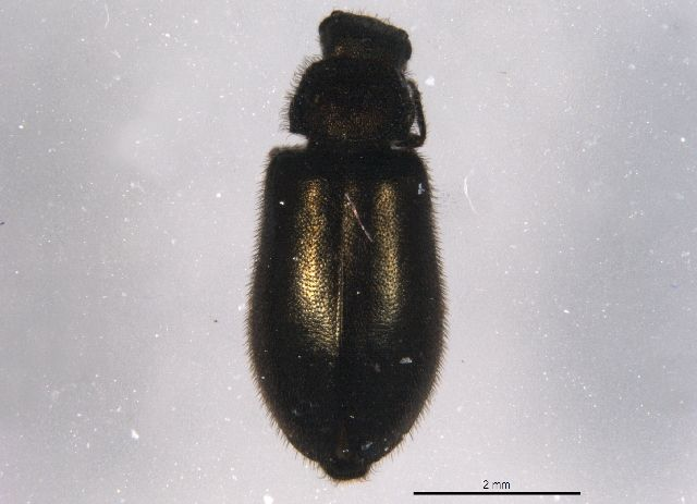 Soft-winged flower beetle (Hoppingiana hudsonica) collected in Waterton Lakes National Park, Alberta,