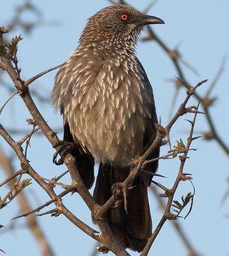 Arrow-marked Babbler, Kruger National Park