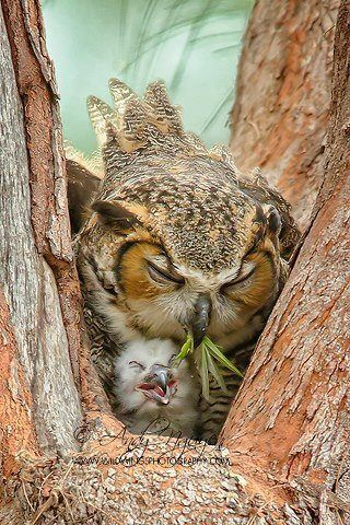 Mama owl and owlet--wonderful photography