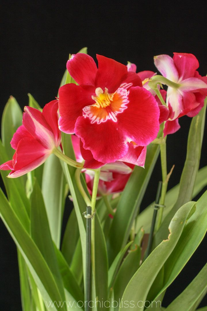 Orchid Anatomy And Terminology A Glossary Of Orchid Terms Orchid Care Growing Orchids Orchids