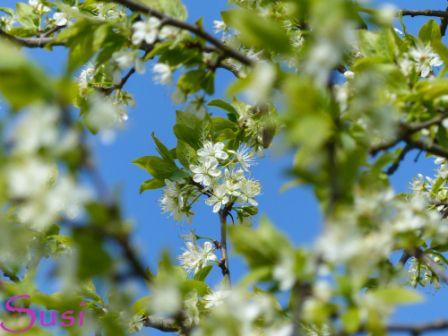 Zwetschgenbaum Blüte