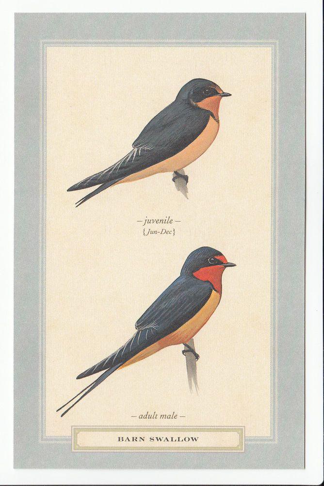 Barn Swallow Bird Breed Art Artwork Birding MODERN POSTCARD