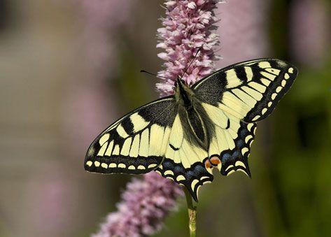 Makaonfjärilen är utan tvekan vår mest exotiska fjäril och drar uppmärksamheten till sig. Foto: Johan Wallander.