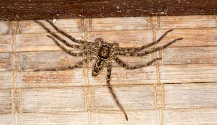 Australian Couple Terrorized And Trapped Inside Their Home By Massive Huntsman Spider