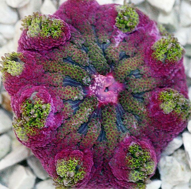 Purple and Green Ricordea - Soft Coral/Mushroom