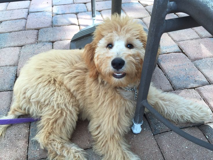 Caya At Almost 5 Months Old Apricot Goldendoodle Puppy